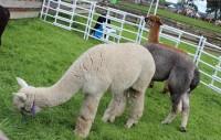新西兰直邮【包邮】驼羊皮-羊驼毛垫 皮羊毛一体180x210cm 18拼 3色 包邮包税